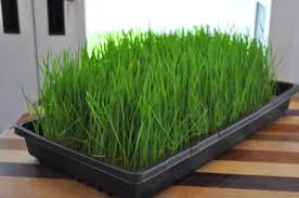 maturewheatgrass